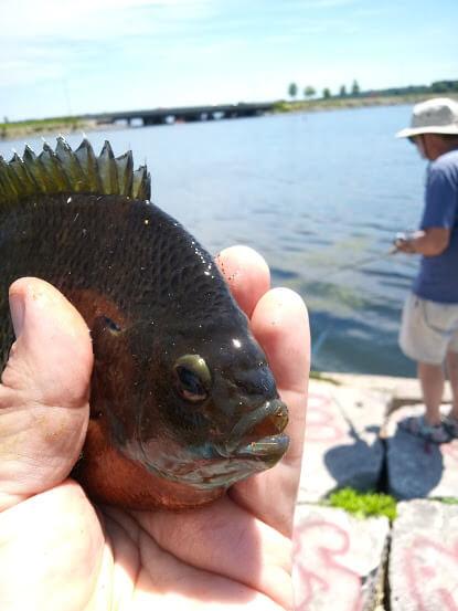 closeup bluegill caught at Monona Bay Madison during free fishing day 2021