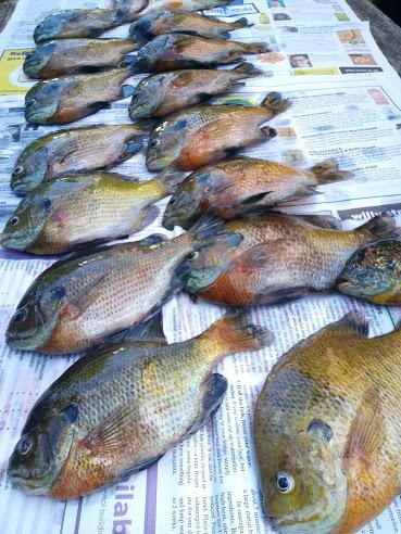 16 fish on newspaper